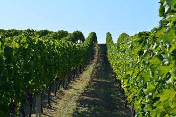 vigne-grecques