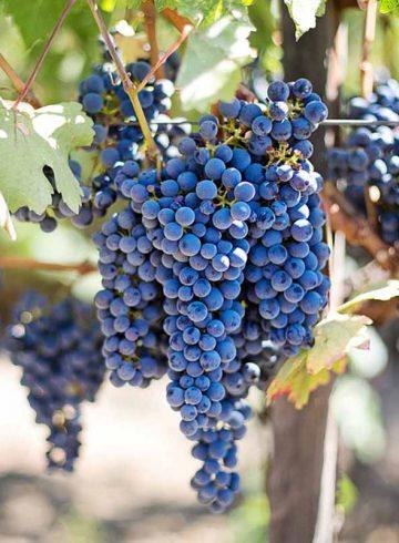 vin-grec